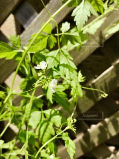 フウセンカズラの花が咲きました❁の写真・画像素材[2317303]