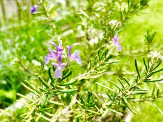 ローズマリーの花が咲きました🌸の写真・画像素材[2317324]