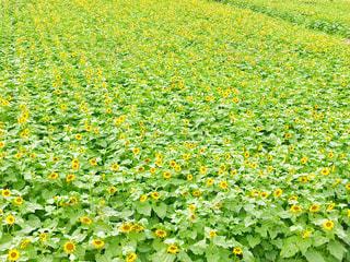 ひまわり畑🌻🌻の写真・画像素材[2377580]