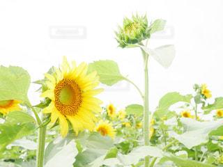 ひまわり畑🌻🌻の写真・画像素材[2415836]