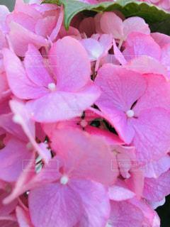 華やかピンクの紫陽花🌸の写真・画像素材[3091230]