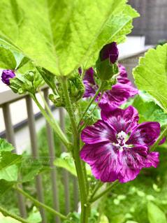 庭に咲いたマローの花🌸の写真・画像素材[3302505]