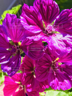 鮮やかに咲いたマロー🌸の写真・画像素材[3309288]