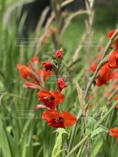 真っ赤なカンナの花の写真・画像素材[3363291]