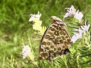 ローズマリーにとまる蝶々 ʚïɞ.•の写真・画像素材[3513511]