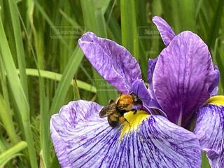 花菖蒲と蜂🐝の写真・画像素材[4539127]
