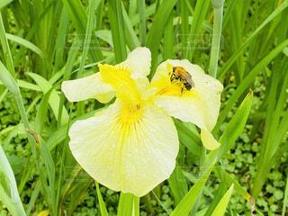 黄色の花菖蒲と蜂🐝の写真・画像素材[4554594]