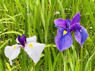 鮮やかに咲いた花菖蒲の写真・画像素材[4554595]