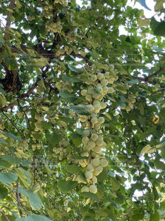 御神木にたくさんの銀なんの実の写真・画像素材[4758372]