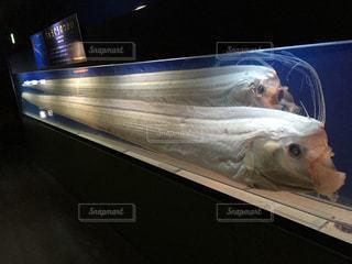 希少な深海魚 リュウグウノツカイの写真・画像素材[822464]