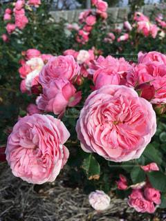 美しい薔薇の写真・画像素材[885403]
