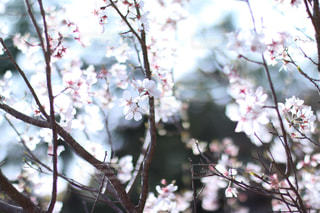 光の中の桜の写真・画像素材[1088872]