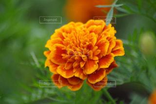 近くの花のアップの写真・画像素材[761237]