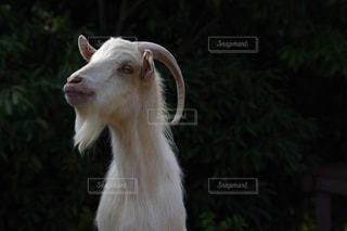 近くにカメラを見て白い動物のアップ - No.795837