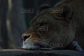 近くにライオンのアップの写真・画像素材[1657437]