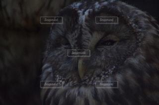 近くにフクロウのアップの写真・画像素材[1657439]