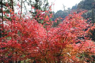 フォレスト内のツリーの写真・画像素材[758773]