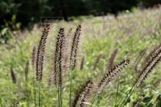 芝生のフィールドで植物の写真・画像素材[825994]