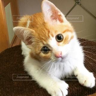 首をかしげる子猫の写真・画像素材[1040794]