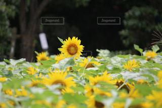 花畑の写真・画像素材[697279]