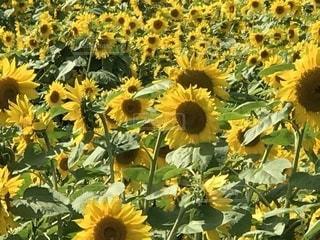 フィールド内の黄色の花の写真・画像素材[763137]