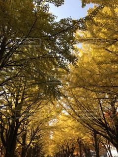 北海道大学の銀杏並木の写真・画像素材[825247]