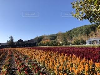 オレンジ色の花畑の写真・画像素材[1556426]