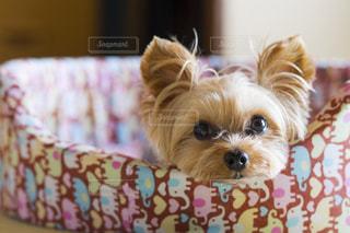 犬の写真・画像素材[675699]