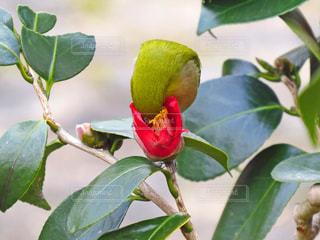 花の蜜を吸うメジロの写真・画像素材[1356330]