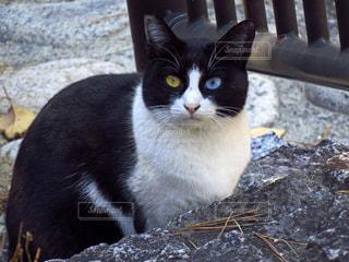 オッドアイの猫の写真・画像素材[1376828]