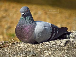 鳩の写真・画像素材[1393354]