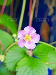 ピンク色の花の写真・画像素材[1394478]