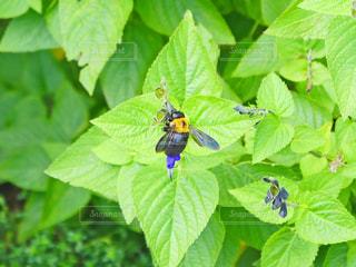 蜂の写真・画像素材[1422926]
