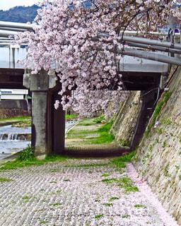 芦屋川の桜の写真・画像素材[1456366]