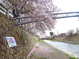芦屋川の桜の写真・画像素材[1456927]