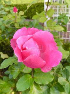 薔薇の写真・画像素材[1688974]