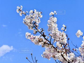 桜の写真・画像素材[1726628]