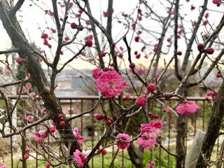 梅の写真・画像素材[1750468]