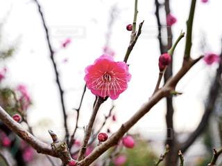 梅の花の写真・画像素材[1751040]