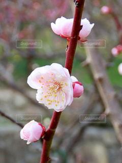 梅の写真・画像素材[1827437]