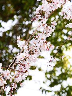 桜の写真・画像素材[1875868]