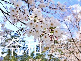 桜の写真・画像素材[1885211]