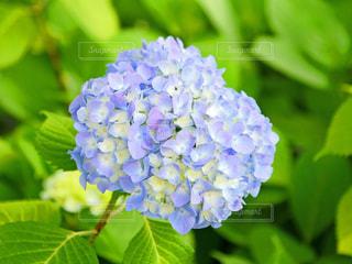 紫陽花の写真・画像素材[2169713]