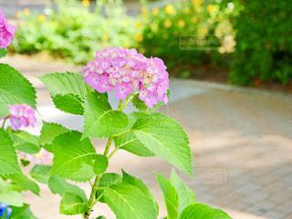 紫陽花の写真・画像素材[2177880]