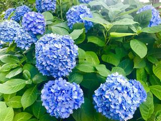 紫陽花の写真・画像素材[2210580]