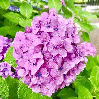 紫陽花の写真・画像素材[2217735]