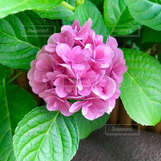 紫陽花の写真・画像素材[2235857]