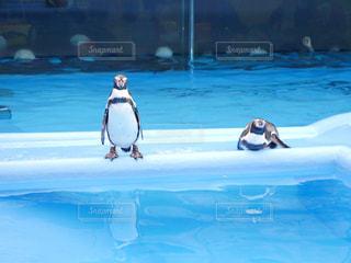 ペンギンの写真・画像素材[2496742]