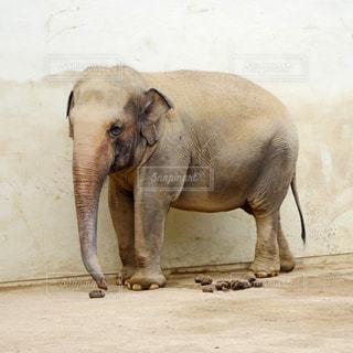 象の写真・画像素材[2496746]