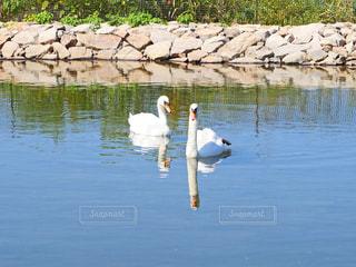 白鳥の写真・画像素材[2558234]
